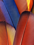 Feather Details of Scarlet Macaw, Honduras Photographic Print by Stuart Westmorland