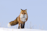 Red Fox (Vulpes Vulpes) Adult on the Arctic Coast, ANWR, Alaska, USA Photographic Print by Steve Kazlowski