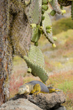 Land Iguana under Prickly Pear Cactus, South Plaza Island, Ecuador Photographic Print by Cindy Miller Hopkins