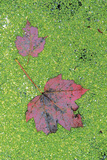 Maple Leaves in Duckweed, Adirondack Park, New York, USA Photographic Print by Charles Gurche