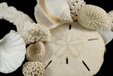 White Seashells, Sand Dollar, and Coral from around the World Photographic Print by Cindy Miller Hopkins