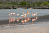 Greater Flamingos in Flamingo Lagoon, Floreana, Galapagos, Ecuador Photographic Print by Cindy Miller Hopkins
