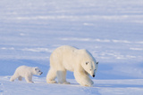Polar Bear with Spring Cub, ANWR, Alaska, USA Photographic Print by Steve Kazlowski