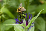 Close-Up of Bee on Flower Bud Photographic Print by Matt Freedman