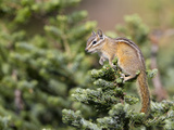 Olympic Chipmunk (Tamias Amoenus Caurinus) in Conifer, Washington, USA Photographic Print by Gary Luhm