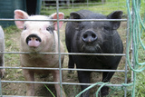 Two Cute Pigs (Sus Domesticus) Behind Fence Photographic Print by Matt Freedman