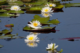 Fragrant Water Lily (Nymphaea Odorata) on Caddo Lake Texas, USA Reproduction photographique par Larry Ditto