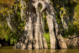 Bald Cypress with Spanish Moss, Atchafalaya Basin, Louisiana, USA Photographic Print by Alison Jones