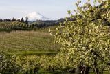 Pear Orchards Blooms with Mount Adams, Oregon, USA Photographic Print by Chuck Haney