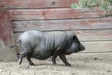 Adult Black Pot Pellied Pig Walking on Farm Fotografie-Druck von Matt Freedman