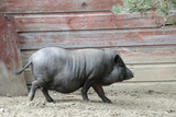 Adult Black Pot Pellied Pig Walking on Farm Photographic Print by Matt Freedman