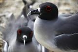 Galapagos Gulls on Genovese Island, Galapagos, Ecuador Photographic Print by Kymri Wilt