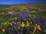 Arrowleaf Balsam Root, Lupine, Columbia Hills Sp, Washington, USA Fotografie-Druck von Charles Gurche
