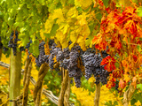 Cabernet Sauvignon Grapes Ready for Harvest, Washington, USA Photographic Print by Richard Duval