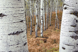 Aspen Trees, Uinta-Wasatch-Cache National Forest, Utah, USA Photographic Print by Charles Gurche