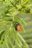 Lady Bug (Coccinella Magnifica), Kansas, USA Photographic Print by Michael Scheufler