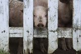 Cute But Sad Looking Baby Pig Looking Through White Picket Fence Photographic Print by Matt Freedman