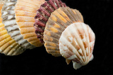 Detail of Seashells from around the World on Black Background Photographic Print by Cindy Miller Hopkins
