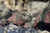 Marine Iguana, Punta Suarez, Espanola, Galapagos, Ecuador Photographic Print by Cindy Miller Hopkins