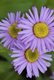 Asters, White River National Forest Colorado, USA Photographic Print by Charles Gurche