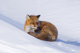 Red Fox (Vulpes Vulpes) Adult Rests on a Snow Bank, ANWR, Alaska, USA Photographic Print by Steve Kazlowski