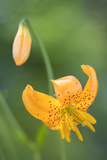 Columbia Lily (Lilium Columbianum), Kirkland, Washington, USA Photographic Print by Gary Luhm