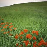 Butterfly Weed, Konza Prairie Natural Area, Kansas, USA Fotografie-Druck von Charles Gurche