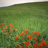 Butterfly Weed, Konza Prairie Natural Area, Kansas, USA Photographic Print by Charles Gurche