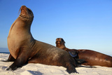 Sea Lions on Mosquera Island, Galapagos, Ecuador Photographic Print by Kymri Wilt