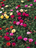 Portulaca Sundial Flower Mixture, Louisville, Kentucky, USA Photographic Print by Adam Jones
