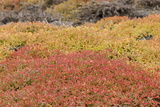 Galapagos Carpetweed, Garua Season, South Plaza Island, Ecuador Photographic Print by Cindy Miller Hopkins
