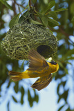Southern Masked Weaver at Nest, Etosha National Park, Namibia Papier Photo par David Wall