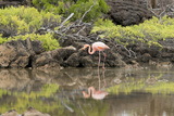 Greater Flamingo in Lagoon, Santa Cruz Island, Galapagos, Ecuador Photographic Print by Cindy Miller Hopkins