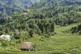 Tea Fields in Rize, Black Sea Region of Turkey Fotodruck von Ali Kabas
