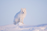 Arctic Fox Adult Pauses on a Snow Bank, ANWR, Alaska, USA Photographic Print by Steve Kazlowski