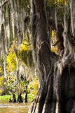 Bald Cypress Closeup, Lake Fausse Point State Park, Louisiana, USA Photographic Print by Alison Jones