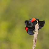 Red-Winged Blackbird (Agelaius Phoeniceus) Displays, Washington, USA Photographic Print by Gary Luhm