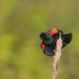 Red-Winged Blackbird (Agelaius Phoeniceus) Displays, Washington, USA Photographic Print by Gary Luhm