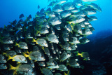 Yellowtail Snappers Schooling, Galapagos Islands, Ecuador Photographic Print by Stuart Westmorland