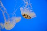 Jellyfish Swim in the Aquarium at Veracruz, Mexico Photographic Print by Brent Bergherm