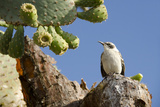Galapagos Mockingbird on Prickly Pear Cactus, Galapagos, Ecuador Photographic Print by Cindy Miller Hopkins