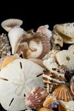 Detail of Seashells from around the World Fotodruck von Cindy Miller Hopkins