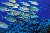 School of Yellowspot Emperor, Blue Corner, Palau, Micronesia Photographic Print by Ali Kabas