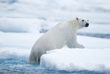 Polar Bear Climbs onto Sea Ice, Spitsbergen, Svalbard, Norway Photographic Print by Steve Kazlowski
