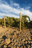 Rocks Vineyard, Washington, USA Photographic Print by Richard Duval