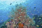 Underwater Scenic of Fish and Coral, Raja Ampat, Papua, Indonesia Photographic Print by  Jaynes Gallery