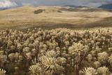 Frailejones' Pants in El Angel Ecological Reserve, Andes, Ecuador Photographic Print by Pete Oxford