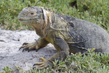 Land Iguana, South Plaza Island, Galapagos, Ecuador Photographic Print by Cindy Miller Hopkins