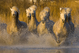 Seven White Camargue Horses Running in Water, Provence, France Photographic Print by  Jaynes Gallery