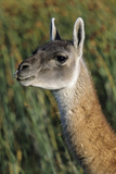 Guanaco Portrait, Chile Photographic Print by Martin Zwick